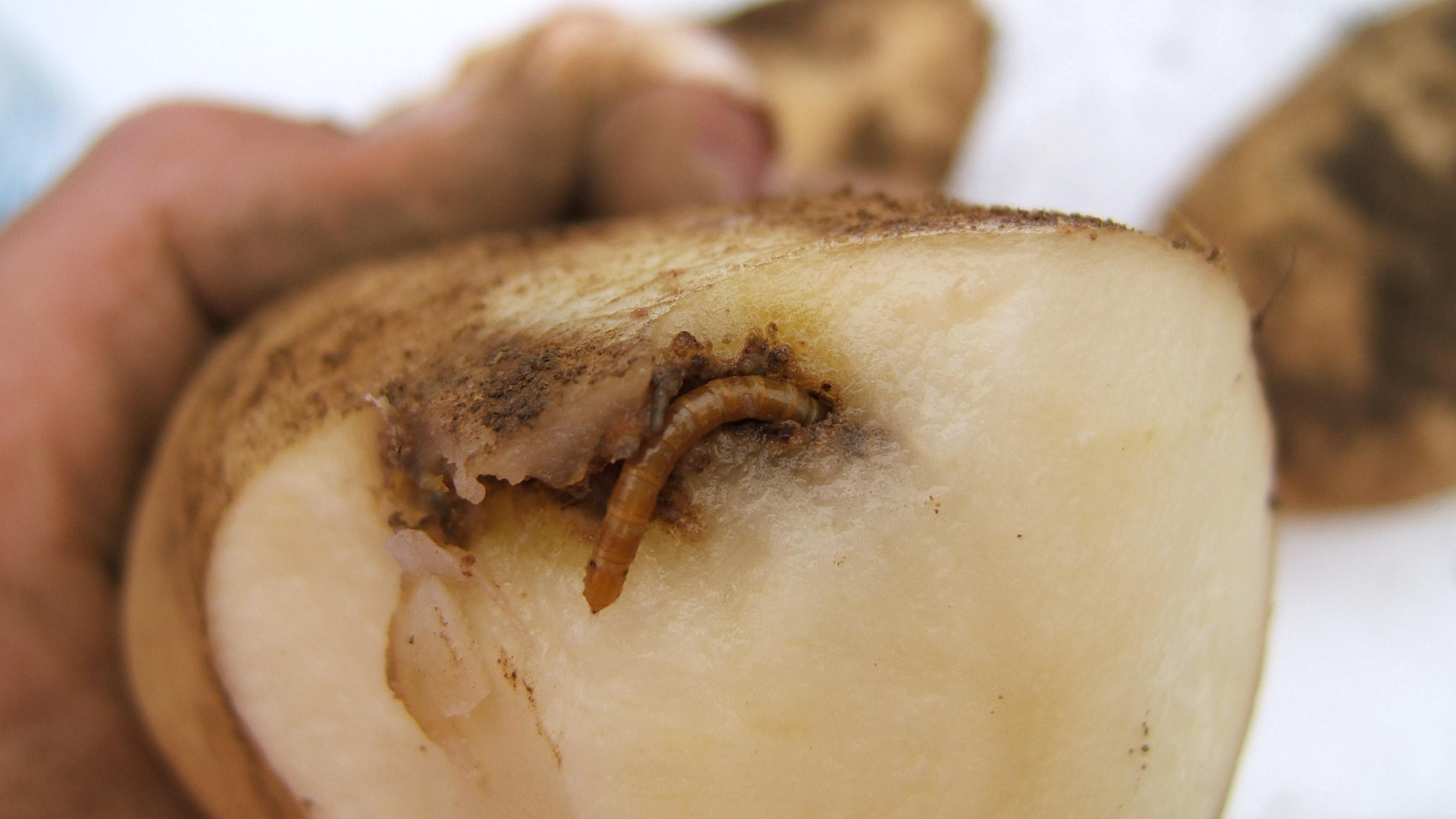 Agriotes spp patatas