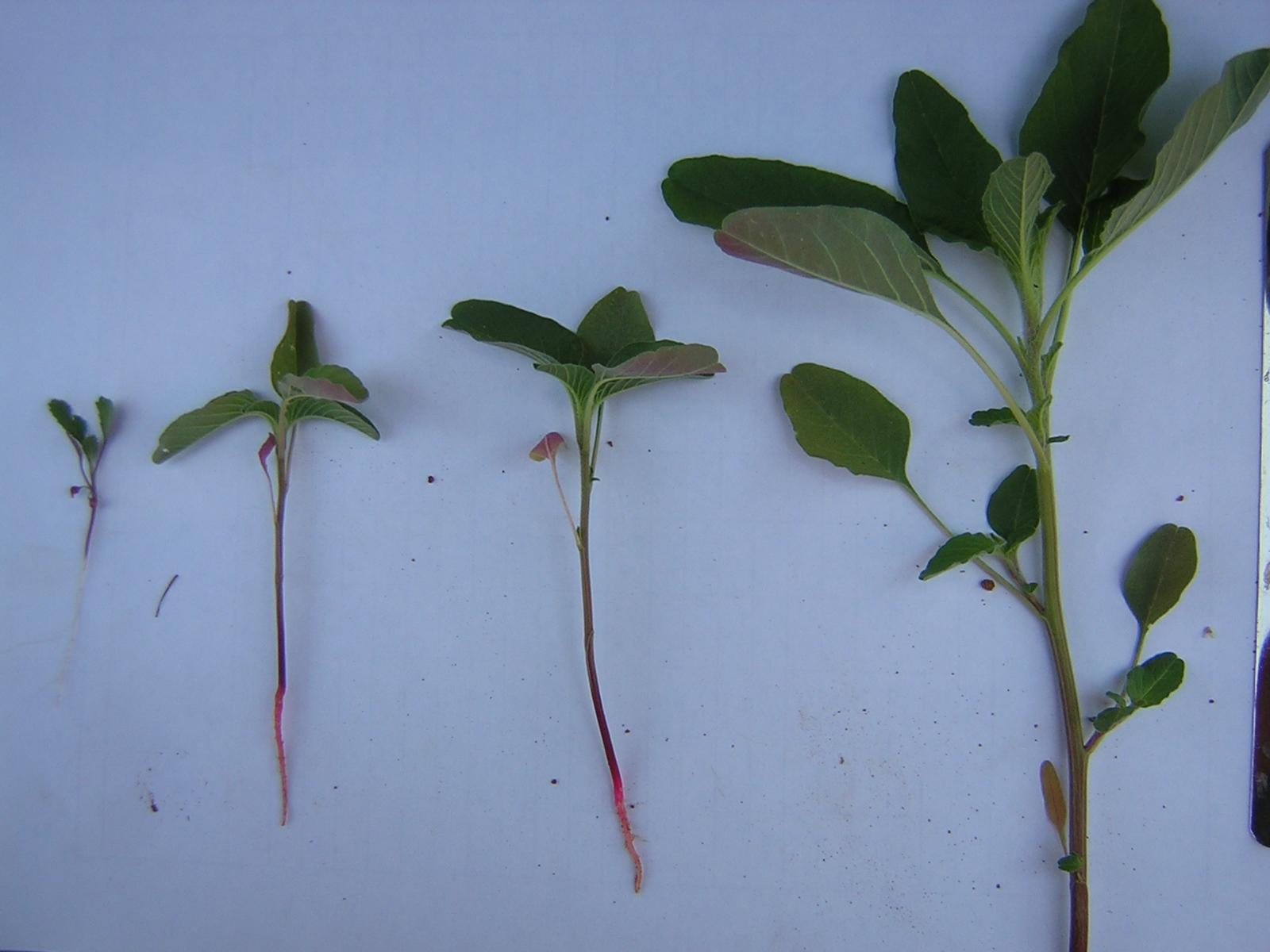 Amaranthus Blitoide