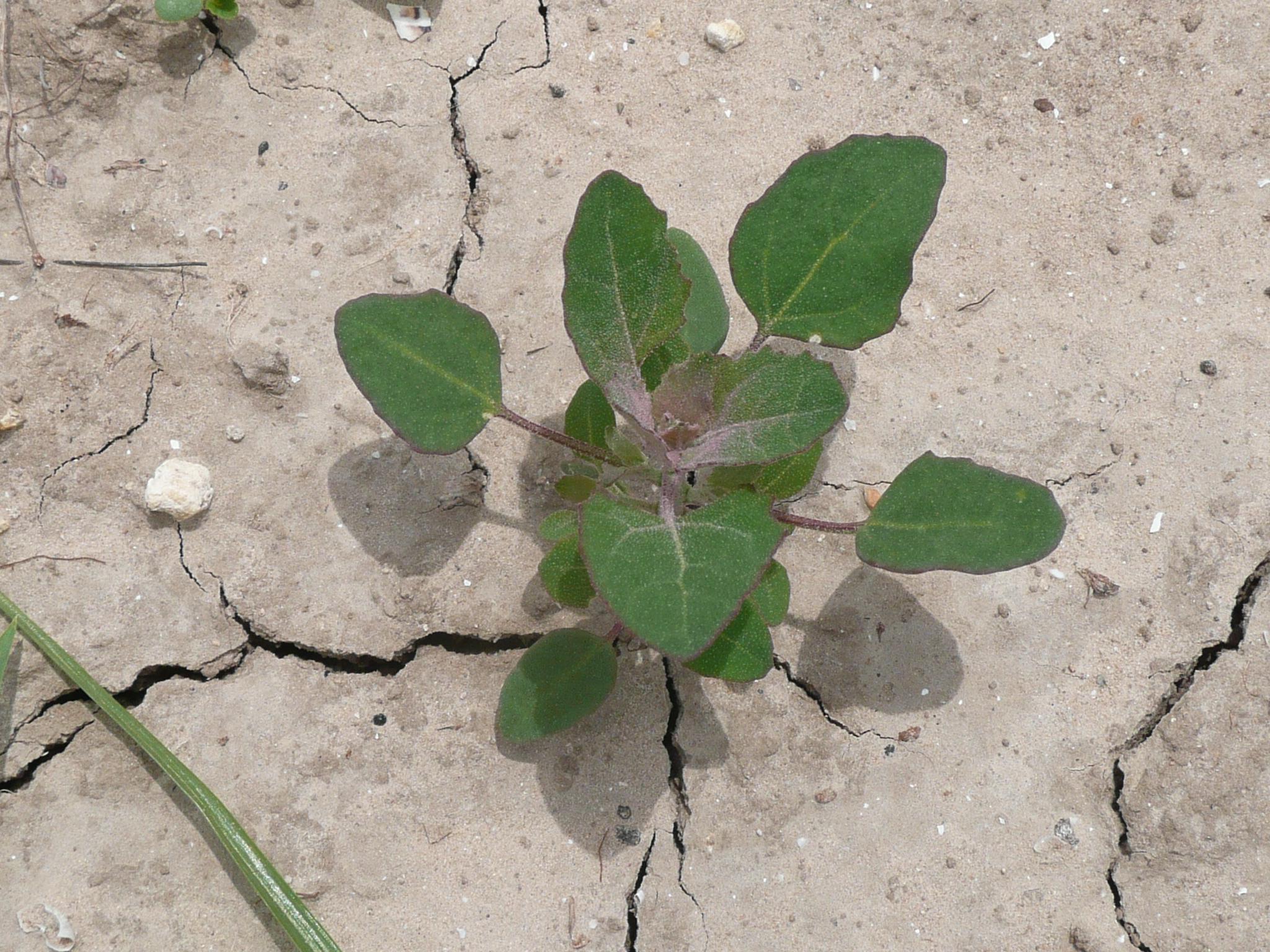 Chenopodium Albus