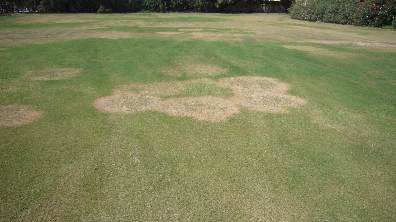 Rhizoctonia Campo de Golf