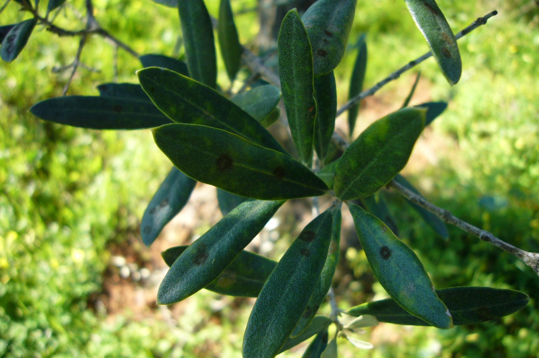 Spilocaea Oleagina
